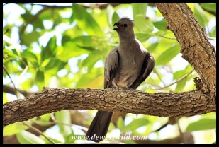 Grey go-away bird hiding from the heat in a shady Lower Sabie tree